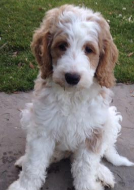 Roly Poly Puppies – Find your next puppy with us!