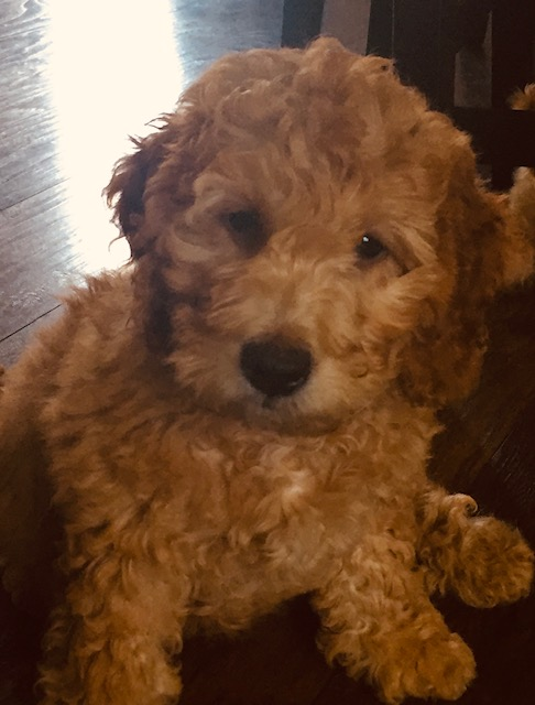 Mini Golden Doodles – Roly Poly Puppies