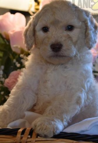 Mini Golden Doodles Roly Poly Puppies